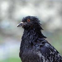 Taube mit Semmelbröseln am Schnabel foto