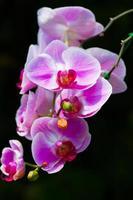 rosa Orchideen auf lokalisiertem schwarzem Hintergrund