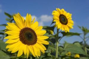 Sonnenblume auf blauem Himmel foto
