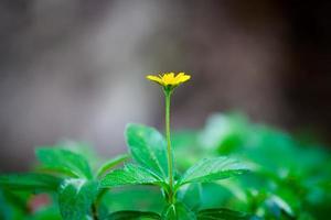 einzelne kleine gelbe Blume