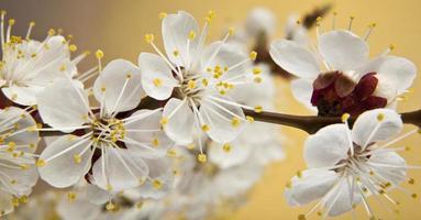 Blüten von Aprikosen foto