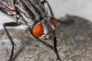 fliegen Porträt Makro foto