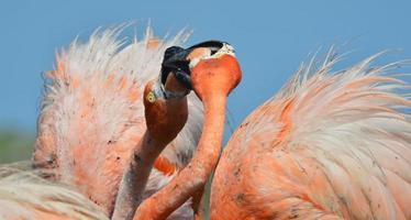 amerikanischer Flamingo.