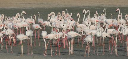 größerer Flamingo (phoenicopterus roseus)
