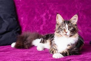 junge Maine Coon Katze foto