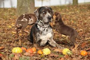 Louisiana Catahoula Hund mit entzückenden Welpen im Herbst foto