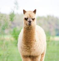 Alpaka-Porträt foto