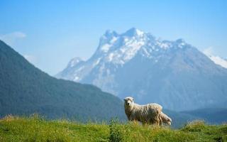 Schafe, die Kamera mit Schneemouintain im Hintergrund suchen