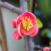 Frühlingsblumenserie, rote Blüten auf den Zweigen, die cha blühen