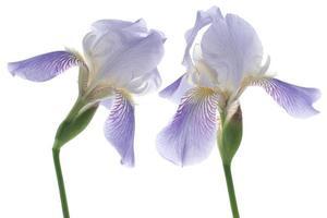 Iris foto