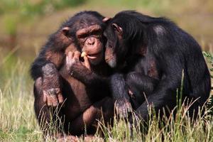 Schimpansen essen eine Karotte foto