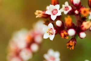 Crassula Cooper, Crassulaceae, Südafrika foto
