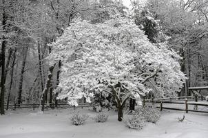 Schnee auf Hartriegel in frühen Stadien des Schneesturms 2010