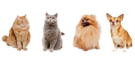 Pommersche, Chihuahua, Britische Katze und eine flauschige rote Katze isoliert
