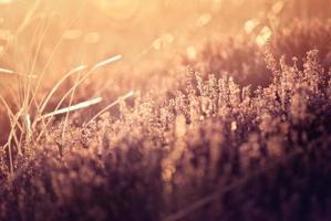 Heidekraut auf der Wiese bei Sonnenaufgang