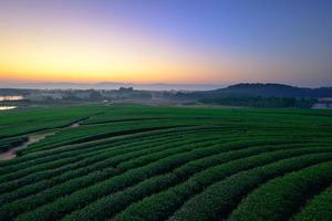 grünes Teefeld im Wintermorgen