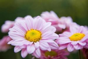 Chrysanthemenblüten