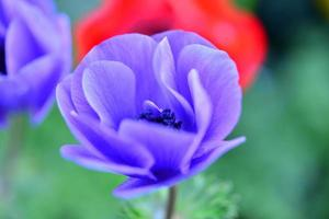 Anemonenblume foto
