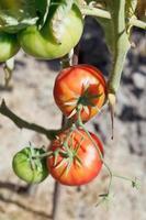 grüne und rote Tomate auf Busch im Garten