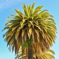 Kanarische Insel Dattelpalme - Embarcadero, San Francisco, ca. foto