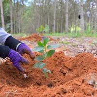 Hände der Bauern, um Kaffeesetzlinge in Plantagen zu pflanzen. foto