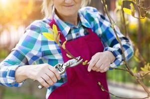 Frau, die Magnolienbaum beschneidet foto