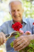 älterer Mann, der Geranien beschneidet foto