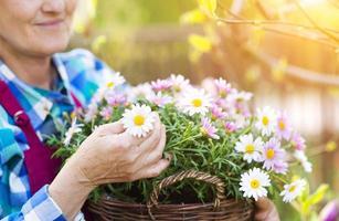 ältere Frau, die einen Korb voller Gerber-Gänseblümchen hält foto