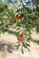 Arganfrüchte am Baum foto