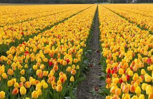 Tulpenkultur foto