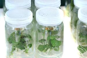 Pflanzengewebekultur schließen foto