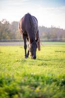 großes schwarzes Pferd, das auf grüner Weide weidet