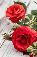 schöne rote Rosen foto