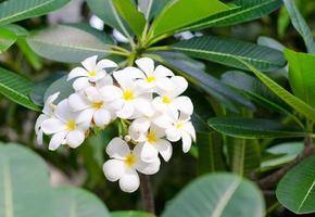 weiße Plumeria-Blüten foto