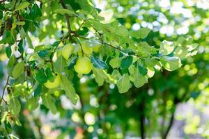 grüne Äpfel auf einem Ast, der zur Ernte im Freien bereit ist foto