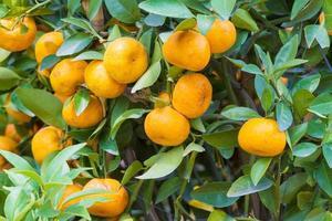 Mandarinenobstbaum foto