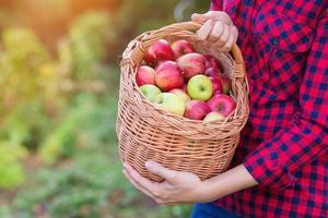 Frau, die Äpfel erntet foto