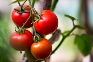 reife Bio-Tomaten auf einem Ast foto
