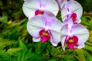 duftende Orchidee in voller Blüte