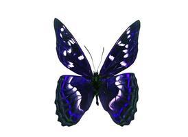 dunkler Schmetterling mit violetten Flügeln. isoliert auf weißem Hintergrund