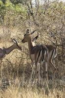Impala Antilope foto