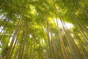 Bambuswald, Kyoto, Japan