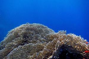 Koralle foto