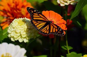 Monarchfalter, der einen Zinnienfleck genießt