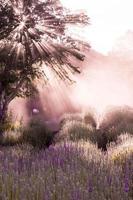 Lavendel Glückseligkeit foto