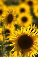 Sonnenblumen foto