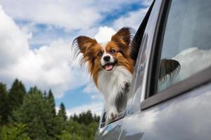 brauner und weißer Hund, der eine Autofahrt genießt foto