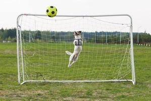 lustiger Hund, der Fußball als Torhüter spielt (gebogener Sprung) foto