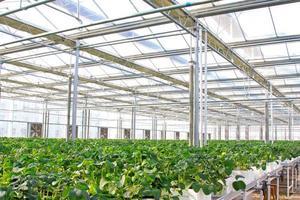 Bodenloser Anbau von grünem Gemüse in einem botanischen Garten foto
