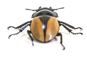 Insekt, Käfer, Käfer, in der Gattung Odontolabis foto